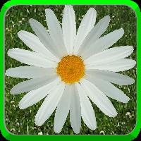 daisyico200